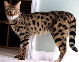 rare cat wallpapers 49 best ashera cat images on pinterest cats savannah cats and world