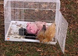 backyard chicken raising rural ramblings