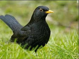 Backyard Animals Lyrics Blackbird Symbolism Blackbird Meaning