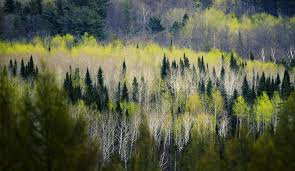 Minnesota forest images Scientists planting 400 acres of minnesota pines to survive jpg