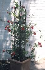 Container Gardening Peas - growing vines in containers successful container gardens