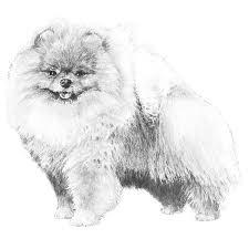 american eskimo dog vs pomeranian pomeranian dog breed information american kennel club