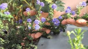 native plants california california friendly gardening solutions gardening with native