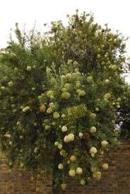 south african native plants 226 best indigenous plants images on pinterest south africa