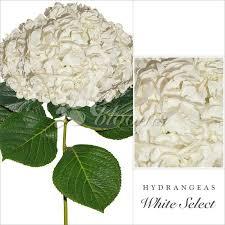 bulk hydrangeas bulk hydrangea ebloomsdirect