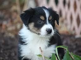 australian shepherd idaho australian shepherd puppies for sale