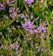 scottish heather theromantictraveler
