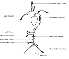 anatomy and physiology of animals cardiovascular system blood