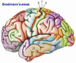 Cortical Blindness May Result From The Destruction Of The Brain U0027s Cerebral Cortex Or Neocortex Has Specialized Areas