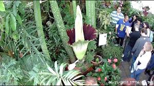 flowers san francisco corpse flower initial blooming san francisco conservatory of