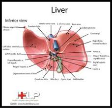 Human Anatomy Liver And Kidneys 27 Liver Model Fatty Liver Physical Therapy And Exercises