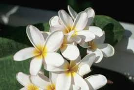Plumerias How To Troubleshoot Plumeria Home Guides Sf Gate