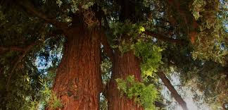 is the tallest tree in the world in mendocino county visit