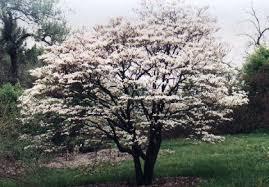 Profusion Flowering Crabapple - crabapple