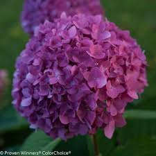 purple hydrangea proven winners 3 gal let s reblooming hydrangea