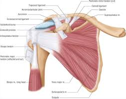 Human Anatomy Anterior Anatomy View Of The Shoulder