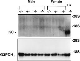 expression of the neutrophil chemokine kc in the colon of mice