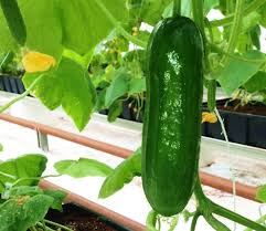 Trellis For Cucumbers In Pots 7 Growing Cucumbers How To Grow Store Pickle And Keep Fresh
