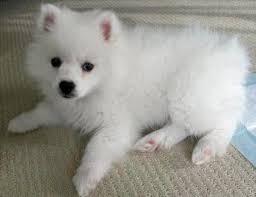 american eskimo dog calgary the 455 best images about animals i love on pinterest baby polar