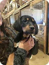 bluetick coonhound for sale in va caramel adopted puppy staunton va black and tan coonhound