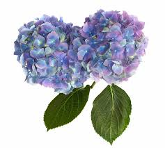 purple hydrangea purple and blue hydrangea flower heads on white stock image