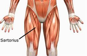 The Human Anatomy Muscles Front Muscles Health U0026 Pe10 Human Movement Cs Sss Guides At