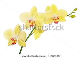 yellow orchid light yellow orchid flowers isolated on stock photo 115061827