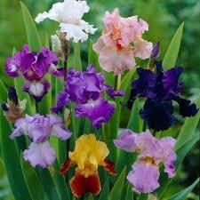 iris flowers iris flower bulbs garden plants flowers the home depot
