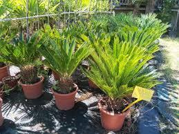 plante vivace soleil the blog la palmeraie des alpes palmiers résistants au gel