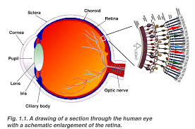 Anatomy Of Human Eye Ppt Simple Anatomy Of The Retina By Helga Kolb U2013 Webvision
