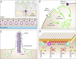 barriers to the free diffusion of proteins and lipids in the