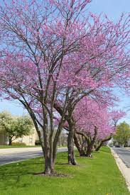 redbud city in columbus the boulevard is blossoming regional