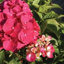 pink hydrangea hydrangea glowing embers at wayside gardens