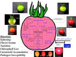 genetic regulation of fruit development and ripening plant cell