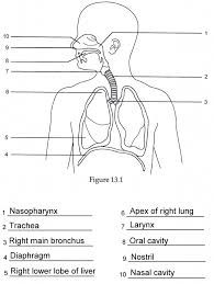 human anatomy labeling worksheets respiratory anatomy labeling