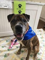 american pitbull terrier z hter deutschland susie u0027s senior dogs home facebook