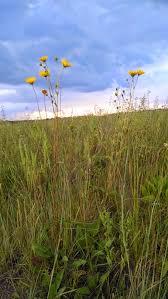 grassland native plants buy native grow native indiana