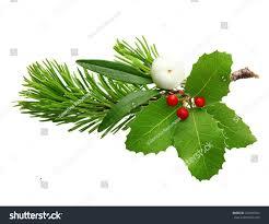 mistletoe twig holly berry fir tree stock photo 224804263