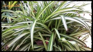 simple living in nancy growing spider plants chlorophytum