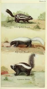 56 best skunks skunk polecat polecats images on pinterest