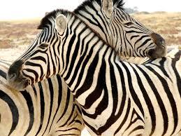 zebra stripes gondwanacollection