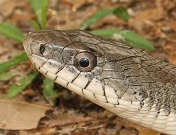 snakes part of healthy environment in alabama outdoor alabama