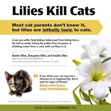 lillies kill cats veterinary stuff pinterest cat and animal