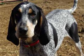 bluetick coonhound in michigan bluetick coonhound dog breed history and some interesting facts