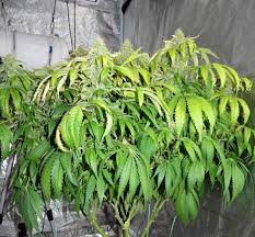 why are cannabis leaves turning yellow how to fix yellow leaves