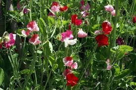 Plants Blooming No Flowers On Sweet Peas What To Do For Sweet Pea Flowers Not