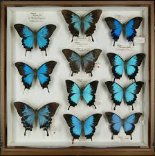 a drawer of ulysses butterflies papilio ulysses from oxford