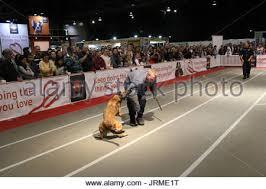 belgian shepherd sydney belgian shepherd dog named koda the dog lovers show is one of the