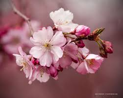 pink cherry blossoms u0026 buds stylepeterson com