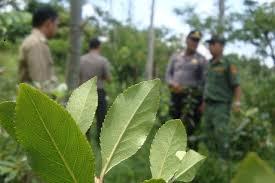 Teh Arab polisi pastikan teh arab di baturaden banyumas bahan baku chatinone